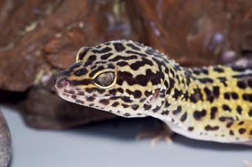 Leopard gecko in front of rock
