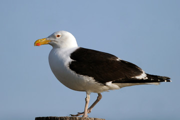 Kelp Gull on the Atlantic coast