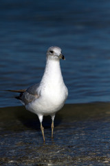 Juvenile Ring-billed Gull in spring on the Florida coast