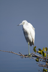 Immature Little Blue Heron in characteristic white coloration