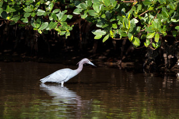 Little Blue Heron with reflection under a mangrove on Florida's Atlantic coast