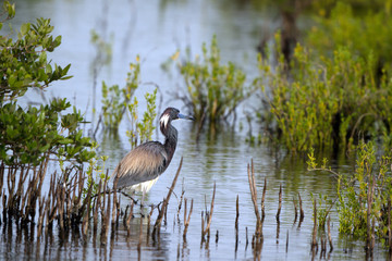 Tricolored Heron or Louisiana Heron hunts in a coastal marsh in Florida
