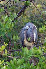 Little Blue Heron in breeding plumage on Florida's Gulf Coast