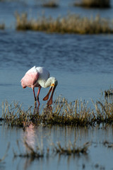 Roseate Spoonbill in evening light on the Florida coast