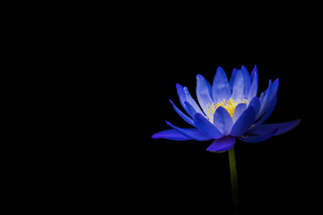 lotus on black background