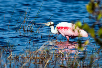 Roseate Spoonbill feeds in beautiful water on the Florida coast