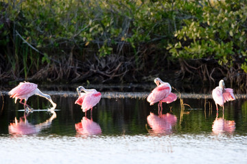 Four Roseate Spoonbill with reflections on the Florida coast