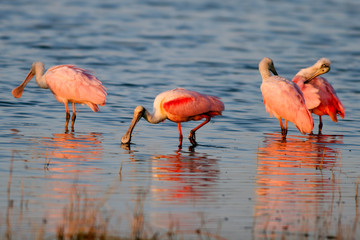 Four Roseate Spoonbills in warm light with reflections on the Florida coast