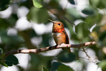Rufous Hummingbird in the Rocky Mountains of New Mexico