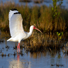 White Ibis spreads his wings on the Florida coast