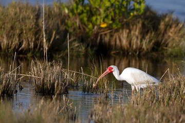 White Ibis has caught a fish on the Florida coast