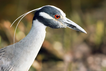 Yellow-crowned Night Heron closeup profile