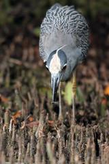 Yellow-crowned Night Heron feeds on the Florida coast