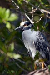 Yellow-crowned Night Heron in mangrove on the Florida coast