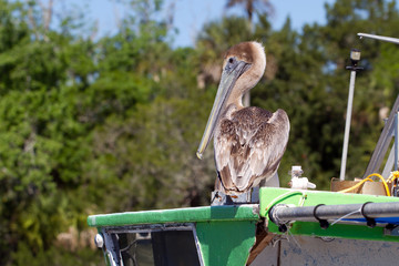 Brown Pelican on a green boat on Florida's gulf coast