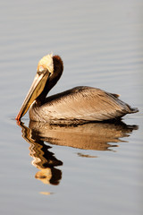 Brown Pelican with side reflection