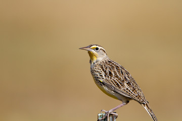 Meadowlark in autumn in southern Colorado
