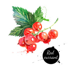 Hand drawn watercolor painting red currants on white background