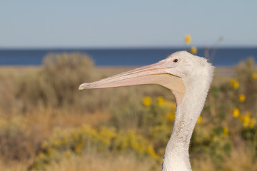 Closeup profile portrait of a White Pelican on the shore of Utah's Great Salt Lake in Antelope Island State Park