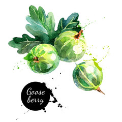Hand drawn watercolor painting gooseberry on white background