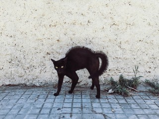 beautiful black cat scared someone and went into punk mode