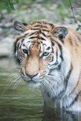 Tiger Nurejev