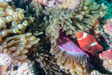 Red Clown fish in anemone Raja Ampat Papua