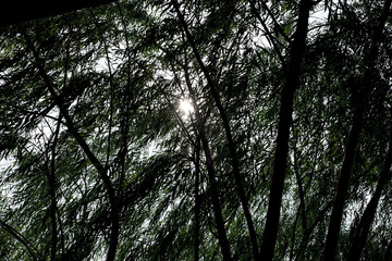 Looking up at tree with sun beam, black and white color