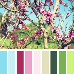Spring Cherry blossoms tree. vintage filter with palette color swatches