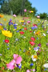 Wall Mural - Blumenwiese - bunte Sommerblumen