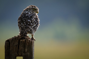 Fototapete - Early Morning Little Owl