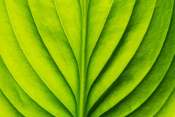 green leaf Wall mural