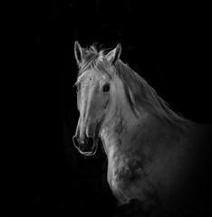 Wall Mural - White stallion in dark running fast