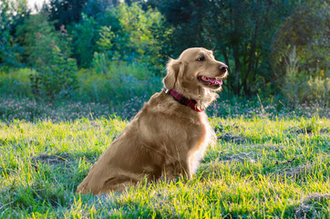 golden retriever dog sitting in nature