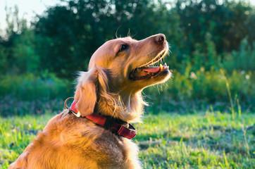 golden retriever dog portrait in profile on nature