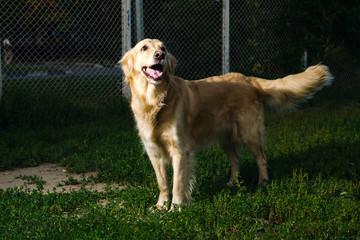 golden retriever dog  in nature