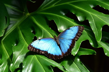 A pretty blue morpho butterfly lands in the butterfly gardens.