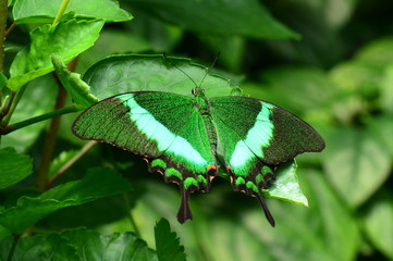 An Emerald Swallowtail butterfly lands in the gardens.