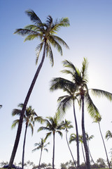 Trees and blue sky of palm, Ko Olina Resort, Oahu, Hawaii -3
