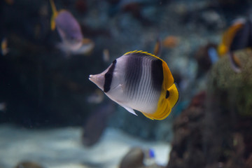 Threadfin butterflyfish, Chaetodon auriga, is a yellow, white and black fish with a sharp, pointed mouth