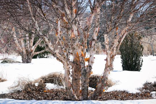 Vintage look river birch or red birch tree, betula nigra, in winter with peeling bark