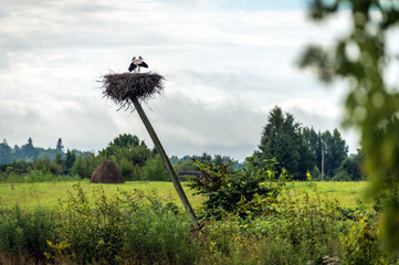 White storks nesting in Latvia