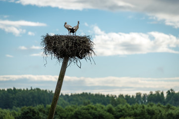 Two storks and their nest