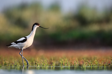 Pied avocet (Recurvirostra avosetta) stepping over water plants in search of food Wall mural