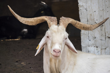 White male goat in the farm