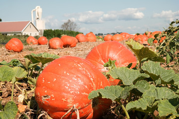 Field Pumpkins