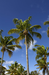 palm tree in Guadeloupe