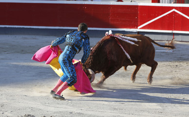 Fighting bull in the bullring