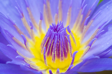 close up of Lotus blooming in the pond