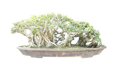 green bonsai banyan tree with a white background